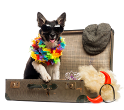 Border collie sitting in an old vintage suitcase full of accessories