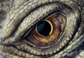 Iguana Eye Closeup